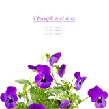 purple pansy flowers isolated on white Stock Images