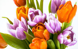Bouquet of purple and red tulips isolated on white background Royalty Free Stock Photography