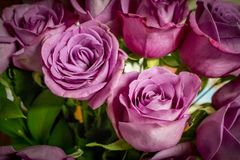 Bouquet of Purple Roses. Closeup photograph of a bouquet of purple roses royalty free stock photos