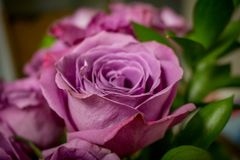 Bouquet of Purple Roses. Closeup photograph of a bouquet of purple roses with a blurred background stock images