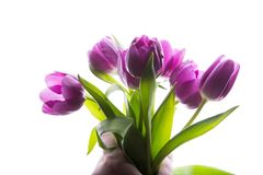 Bouquet of purple tulip flowers in man hand isolated, copy space. Man holding bunch of tulips. copy space for your text. Bouquet of purple tulip flowers in man Royalty Free Stock Image