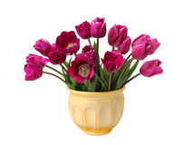 Bouquet of purple tulips on white. Bouquet of purple tulips in a clay pot isolated on a white background Royalty Free Stock Images