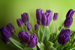 Purple tulips on a green background Royalty Free Stock Photo