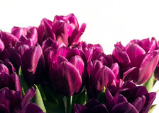 Bouquet of purple tulips Royalty Free Stock Photos