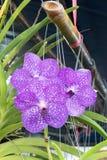 Bouquet of purple Vanda orchids. Stock Images
