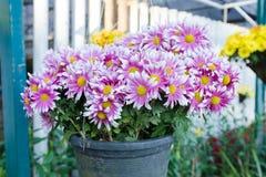 Bouquet of purple white Chrysanthemum Royalty Free Stock Photo