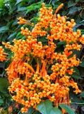 Bouquet Pyrostegia venusta royalty free stock image