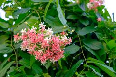 A bouquet of Rangoon creeper of various colors that bloom on the branches on the tree. S royalty free stock photos