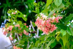 A bouquet of Rangoon creeper of various colors that bloom on the branches on the tree. S royalty free stock image