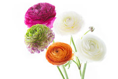 Bouquet of Ranunculus asiaticus flowers Royalty Free Stock Photos