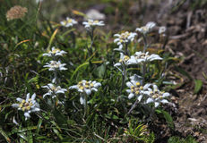Bouquet of rare Edelweiss flowers during summer in Bucegi mountains Stock Image