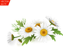 Bouquet realistic daisy, camomile flowers on white background. Vector illustration card Royalty Free Stock Photos