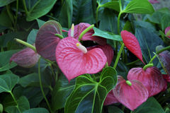 Bouquet of red anthurium Royalty Free Stock Photography