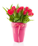 A bouquet of red colorful tulips. In a pink vase with a red white ribbon  isolated over white Stock Photography