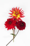 Bouquet of red dahlias on white backround Royalty Free Stock Photo