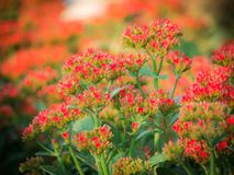 The Red Flaming Katy Flowers Blooming. Bouquet of The Red Flaming Katy Flowers Blooming in The Field royalty free stock photography