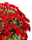 Bouquet of red flowers of chrysanthemum Royalty Free Stock Images