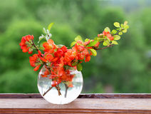 Bouquet of red flowers of a quince in a glass vase at a window. A vase on a wooden window sill against greens in an open window, a close up, an blured Royalty Free Stock Photography