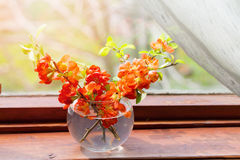 Bouquet of red flowers of a quince in a glass vase at a window. A vase on a wooden window sill against greens in an open window, a close up, an blured Stock Photography