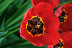 Bouquet red freshness tulips Royalty Free Stock Images