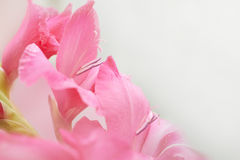 Bouquet of red gladioluses. Bouquet of beautiful red and pink gladioluses isolated on white Stock Images
