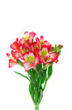 Bouquet of red kanna's flowers Stock Photos