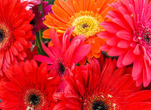 Bouquet of Red and Orange Gerbera Daisies Stock Image