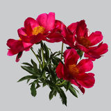 Bouquet of red peonies isolated Royalty Free Stock Photography