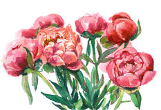 bouquet of red peonies Royalty Free Stock Image