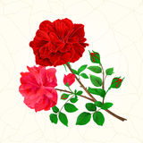 Bouquet of red  and pink roses and rosebuds festive background cracks vintage vector. Botanical illustration hand draw Royalty Free Stock Image