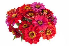 Bouquet of red and pink Zinnia  flowers on white background Royalty Free Stock Photo