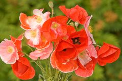 Bouquet of red poppies Royalty Free Stock Image