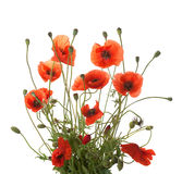 Bouquet of red poppies Stock Photo