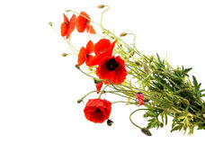 a bouquet of red poppies isolated Royalty Free Stock Image