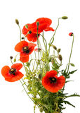 a bouquet of red poppies isolated Stock Images