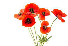 a bouquet of red poppies isolated Royalty Free Stock Photo