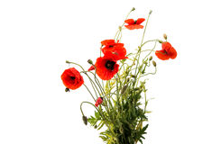 a bouquet of red poppies isolated Royalty Free Stock Photography