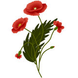 Bouquet red poppies. With leaves, isolated on white background, vector illustration Stock Photo