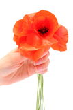 Bouquet of red poppy flowers on white background Royalty Free Stock Photo
