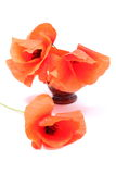 Bouquet of red poppy flowers on white background Stock Photography