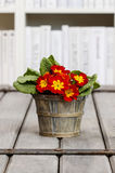 Bouquet of red primroses in wooden bucket Royalty Free Stock Photos