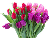 Bouquet of  red and purple  tulip flowers. Bunch of fresh  red, pink and purple tulip flowers close up  isolated on white background Royalty Free Stock Images