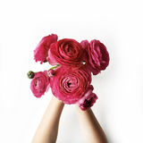 Bouquet of red ranunculus or roses in girl's hands on white background Royalty Free Stock Image