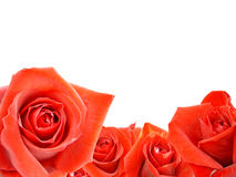 A bouquet of red roses. Rose background white place for writing Royalty Free Stock Image