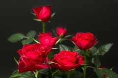 Bouquet of red roses on a black background.  stock photography