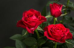 Bouquet of red roses on a black background.  royalty free stock photos