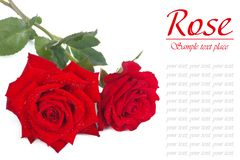 A bouquet of red roses with dew drops isolated. On white Stock Photo
