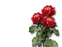 Bouquet of red roses on a white background Stock Photography