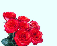 Bouquet of red roses on the white background Royalty Free Stock Photo