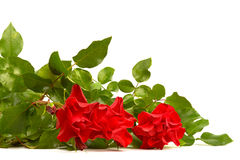 Red roze. Bouquet of red roze on white background Stock Image